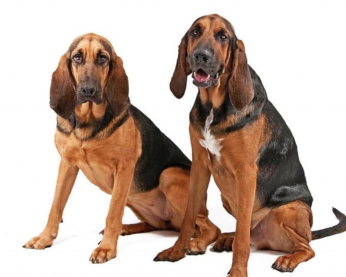 英国寻血猎犬_寻血猎犬 比格_寻血猎犬